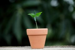 Baby plant growing in pot Royalty Free Stock Photography