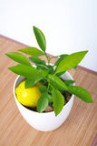 Baby plant in small flower pot with lemon Royalty Free Stock Photo