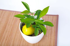 Baby plant in small flower pot with lemon Stock Image