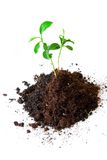 Baby plant in soil Stock Image