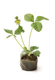 Baby plant - strawberry Stock Images