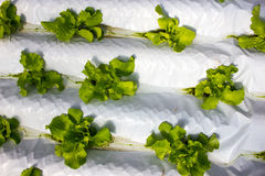 Baby Plants Growing in Hydroponic System Stock Photos