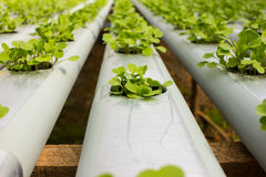 Baby Plants Growing in Hydroponic System Royalty Free Stock Photo