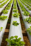 Baby Plants Growing in Hydroponic System Royalty Free Stock Images