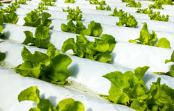 Baby Plants Growing in Hydroponic System Stock Photo