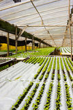 Baby Plants Growing in Hydroponic System inside Greenhouse Royalty Free Stock Images