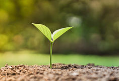 Baby plants seedling Royalty Free Stock Image