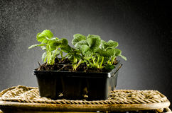 Baby Plants Strawberry in rain Stock Image