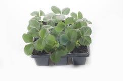 Baby Plants Strawberry Stock Photo