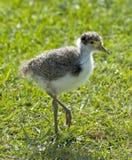 Baby plover Stock Photo