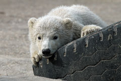 Baby polar bear Royalty Free Stock Image