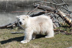 Baby Polar bear Stock Image