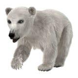 Baby Polar Bear Royalty Free Stock Photo