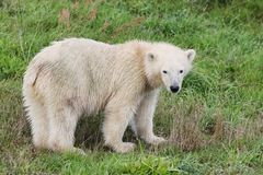 Baby polar bear Royalty Free Stock Images