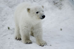 Baby Polar Bear from the Toronto Zoo Stock Photo