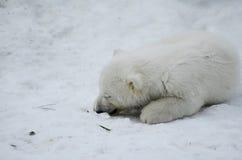 Baby Polar Bear from the Toronto Zoo Royalty Free Stock Image