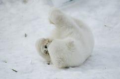 Baby Polar Bear from the Toronto Zoo Royalty Free Stock Photos