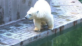 Baby Polar Bear walking anxious in its place stock video