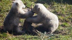 Baby polar bears playing stock footage