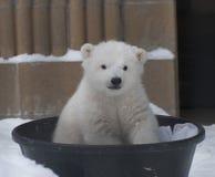 Baby Polar Bear. A baby polar at a zoo siting in a bucket Stock Photos