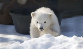 Baby Polar Bear Stock Photo