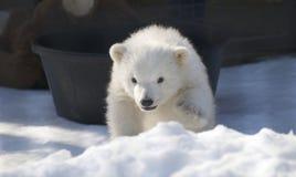 Baby Polar Bear. A baby polar at a zoo walking through the snow Stock Photo