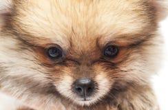 Baby pomeranian. Closeup face of baby pomeranian stock photos
