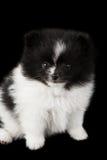 Baby pomeranian Stock Photography