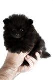 Baby pomeranian Stock Photo