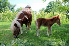 Baby pony and his mother Royalty Free Stock Photos