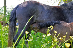 Baby pony nursing Royalty Free Stock Images