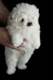 Baby poodle. Closeup of a baby poodle isolated on a black background Royalty Free Stock Images