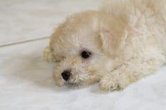 Baby Poodle - Mila Royalty Free Stock Image