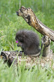 Baby porcupine Royalty Free Stock Photos
