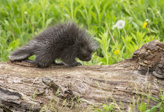 Baby Porcupine Royalty Free Stock Images