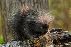 Baby Porcupine (Erethizon dorsatum) On Birch Branch Royalty Free Stock Photo