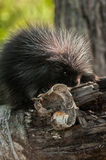 Baby Porcupine (Erethizon dorsatum) with Birch Curl Stock Images