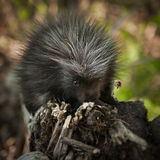 Baby Porcupine (Erethizon dorsatum) Sniffs at Branch Royalty Free Stock Image