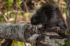 Baby Porcupine (Erethizon dorsatum) Sniffs at Branch Royalty Free Stock Photo