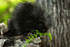 Baby Porcupine (Erethizon dorsatum) Sniffs at Fern Stock Photo