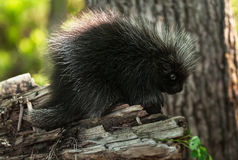 Baby Porcupine (Erethizon dorsatum) Stands on Branch Royalty Free Stock Photo