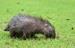 Baby porcupine Royalty Free Stock Image