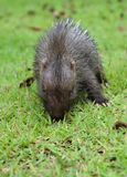 Baby porcupine Stock Photography