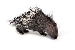 Baby porcupine isolated Royalty Free Stock Images