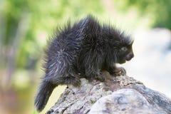 Baby porcupine Royalty Free Stock Photos