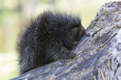 Baby porcupine Royalty Free Stock Photography