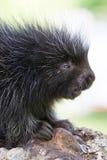 Baby porcupine portrait. Baby porcupine side portrait in springtime Royalty Free Stock Photo