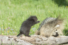 Baby porcupine reaches for his mother. Baby porcupine and mother in Montana wilderness Stock Images