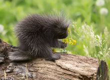Baby porcupine Stock Image
