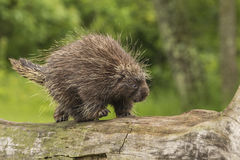 Baby Porcupine Walking Royalty Free Stock Images
